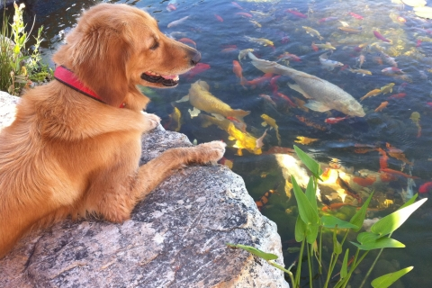 Koi or Shubunkin: Which Fish is Right for your Backyard Pond?