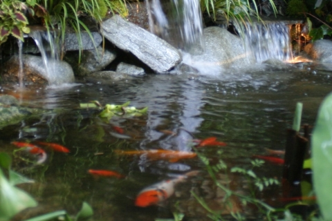 Choosing Healthy and Attractive Koi Fish for Your Backyard Pond