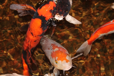 Keep Your Backyard Pond's Koi and Other Fish Safe this Spring with Pond Supplies